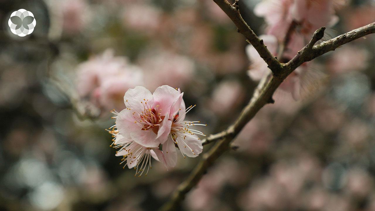เมื่อซากุระเบ่งบานแต้มสี ตำนาน 2,000 ปีที่เกือบถูกลืม