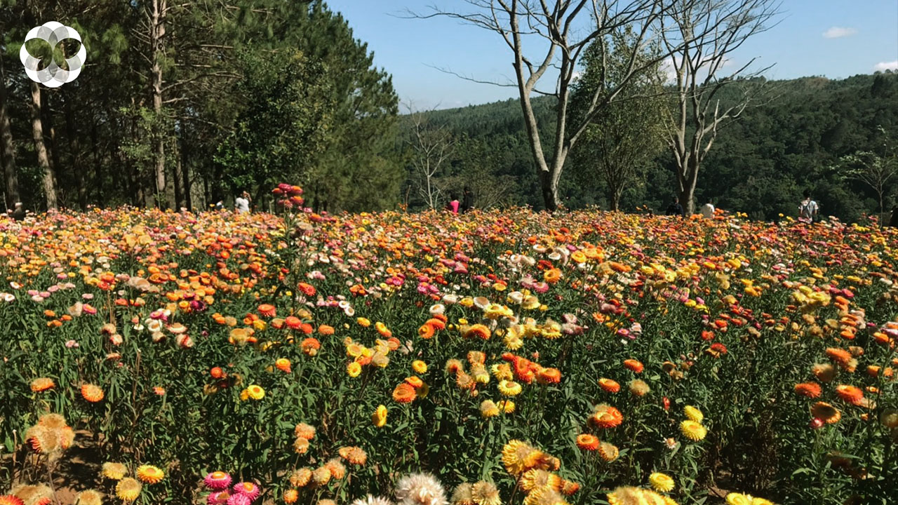 ผจญภัยริมผา ชม 'ทุ่งดอกกระดาษ' ดอกไม้หลากสีบนภูหินร่องกล้า