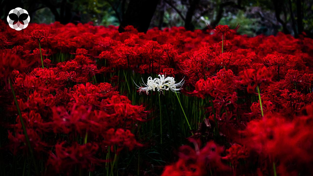 'ลิลลี่สีเลือด' ดอกไม้ที่มากับความตายในประเทศญี่ปุ่น