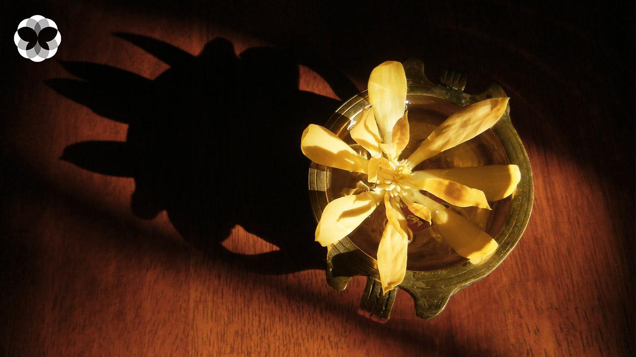 ดอกจำปา 'พระยาแห่งดอกไม้' ที่มาไกลจากอินเดีย