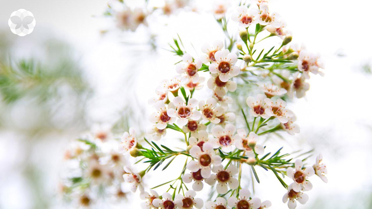 ดอกไม้ประจำเดือนกันยายน