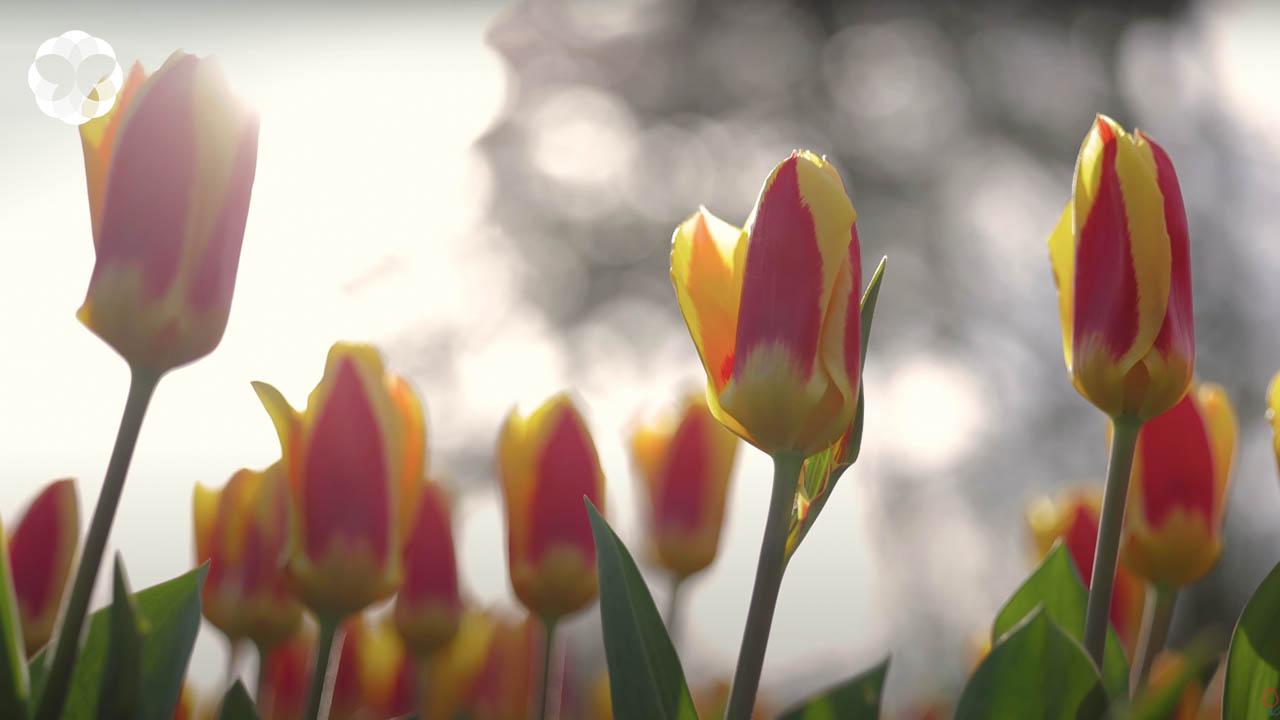 เที่ยวทิพย์! ทัวร์ออนไลน์ 'เทศกาลดอกทิวลิป' 2021 ประเทศเนเธอร์แลนด์